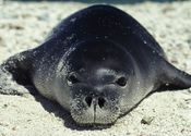 Main_thumb_monk-seal_632_600x450