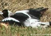 Main thumb magpie sunbaking2