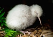 Main thumb kiwi chick manukura attracted numerous visitors 400x274